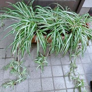 オリズルラン 鉢植え 子株たくさん