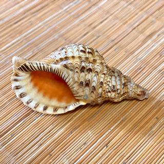 螺貝、ホラ貝