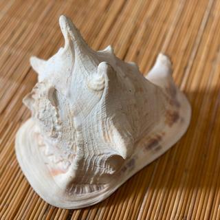 飾り貝 トウカムリ