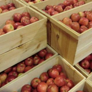 急募 日給 10,000円ー12000円りんごの組み替え作業員募集