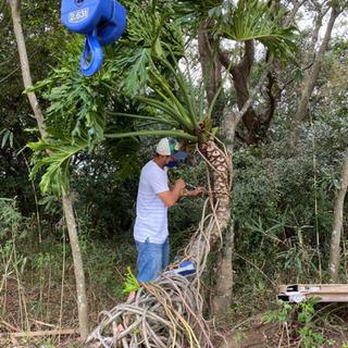 セローム ヒトデカズラ 巨大な観葉植物 (今週いっぱい)