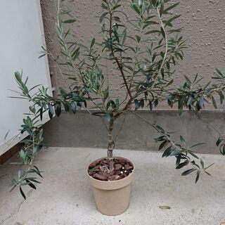 オリーブの樹木★