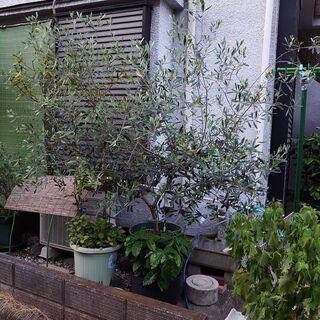 鉢植え オリーブの木 差し上げます。