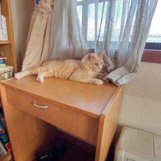 多頭飼育から保護した長毛猫 ミルクティー色のミル