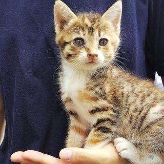 キジトラの子猫(2か月)の里親を募集します
