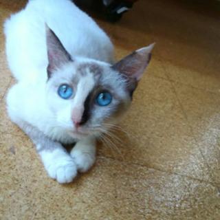 【シャム風】【白血病キャリア】メスの成猫ちゃんです