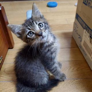 ワクチン済み1ヶ月半の可愛いキジトラ仔猫男の子の里親さん募…