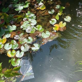 池に入れる魚