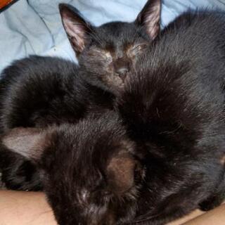 3ヶ月子猫、きーじーくーろー