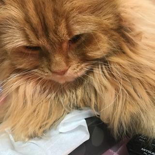 スコティッシュフォールド - 猫