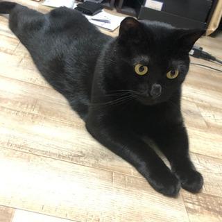 里親募集です。黒猫2歳