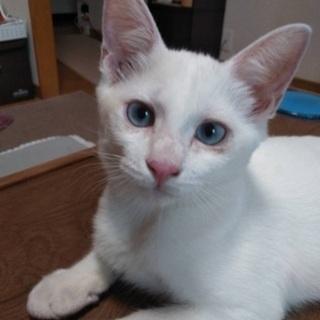 美猫シロちゃん - 猫