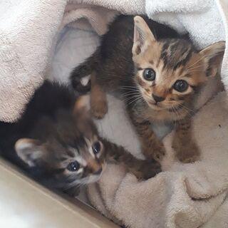 生後1ヵ月くらい2匹 黒い子はメス キジトラは?です