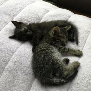 黒、しま模様の可愛い子猫(情報更新①)