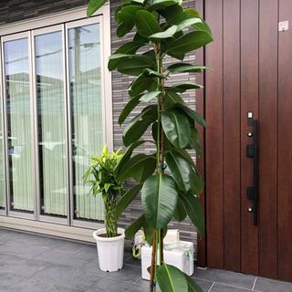 観葉植物 大型 大きい 事務所 店舗 インテリア等に②