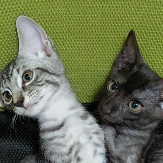 3ヶ月の子猫2匹(オス)
