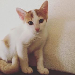 白茶仔猫4か月