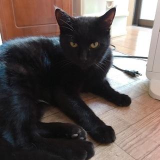 黒猫、去勢済み、猫エイズ、白血病陰性