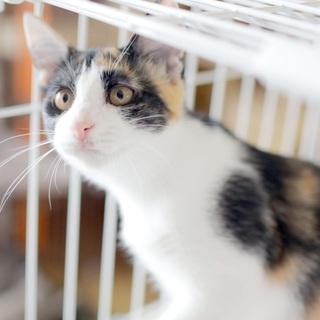 【美猫なお嬢さん】ハチワレ三毛のネスレちゃん