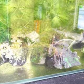 水草 マツモ 50g