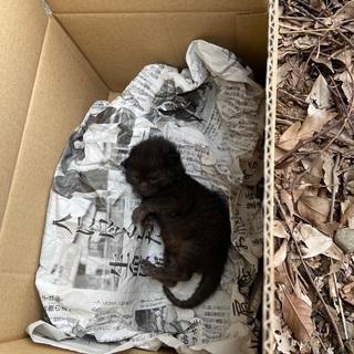 生後1週間くらいの子猫(多分男の子) - 駿東郡