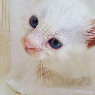 生後 数週間 白猫(イケメン)