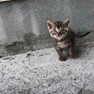 キジトラ柄のメスの子猫の里親募集します