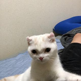生後5ヶ月スコティッシュ子猫