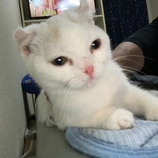 生後5ヶ月スコティッシュ子猫 − 福岡県
