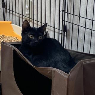★子猫ゆずります★黒猫ちゃん、かぎしっぽ
