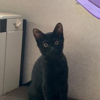 ★子猫ゆずります★黒猫ちゃん、まっすぐシッポ、男の子