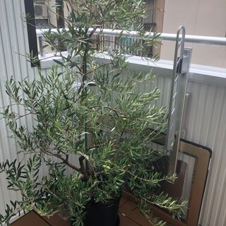 オリーブの木(観葉植物)