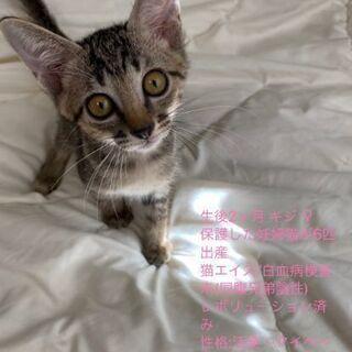 生後2ヶ月位 キジトラ(メス) - 猫