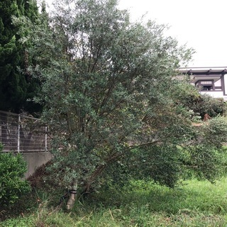 オリーブの木 ご自身で掘って運べる方