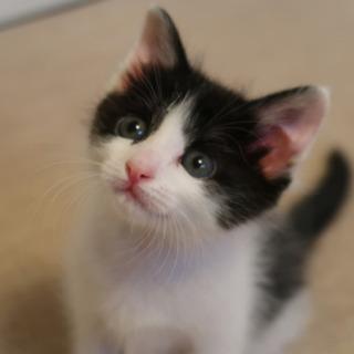 ハチワレ猫のセフィーちゃん