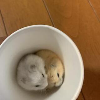 ジャンガリアンハムスターの赤ちゃん2匹