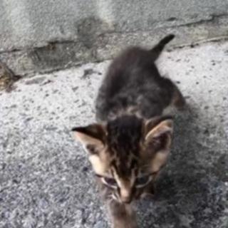 キジトラ柄のメスの子猫の里親募集します - 里親募集
