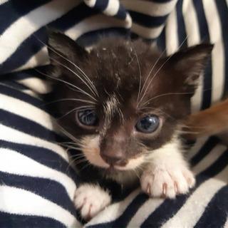 生後4週間ぐらいの子猫の里親募集 最後まで投稿内容読みましてお問...