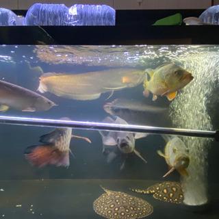 水槽規模縮小のため大型魚など格安販売