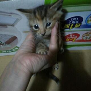 子猫1匹の里親さん募集