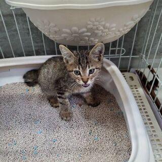 生後1か月位、可愛いキジトラの男の子です♡ - 猫