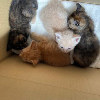 6ヵ月のキジオスと1ヵ月程の女の子4匹【白ネコ決まります、…
