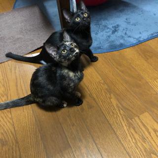 【里親募集】さび猫と黒猫の姉妹 生後2〜3ヶ月