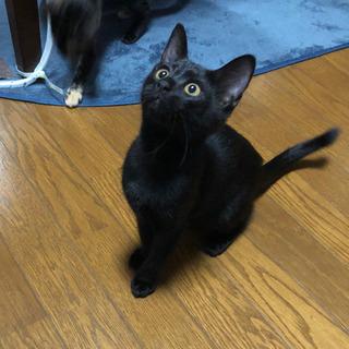 【里親募集】さび猫と黒猫の姉妹 生後2〜3ヶ月 - 三次市