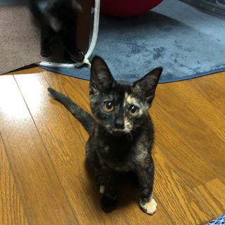 【里親募集】さび猫と黒猫の姉妹 生後2〜3ヶ月 − 広島県