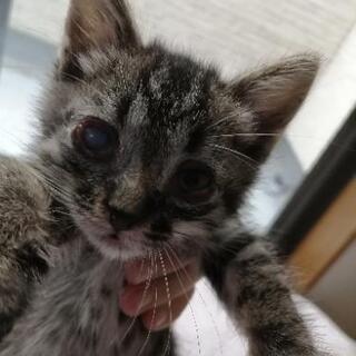 シマ模様の生後1ヶ月の子猫(オス)