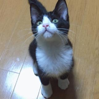 ハチワレ君の家族になって頂けませんか? - 猫