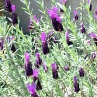 ラベンダー 紫 根付苗 1本 来年の夏に