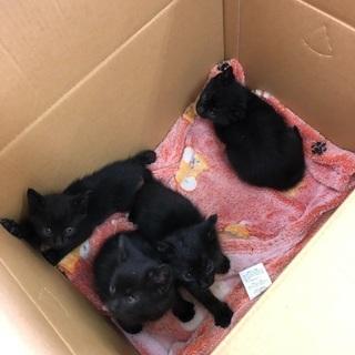 黒猫子猫 1ケ月 5匹