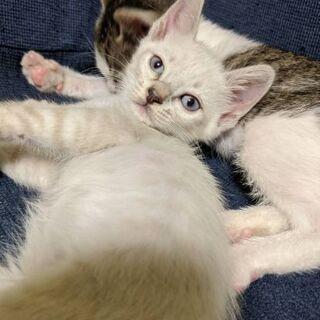 生後1ヵ月の子猫の里親を探しています 1 - 猫